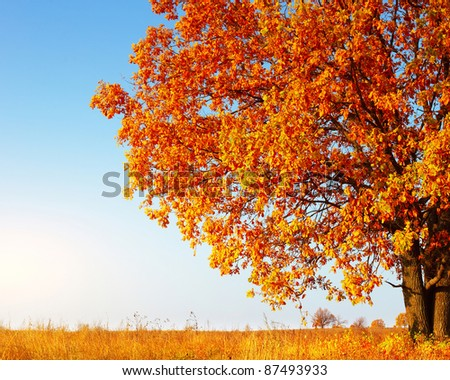 Big autumn oak tree with red leaves on a blue sky background - stock photo