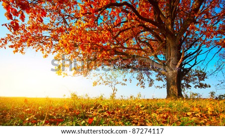 Big autumn oak with red leaves on a blue sky background - stock photo