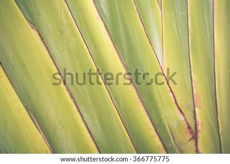 Big banana leaf texture background - stock photo
