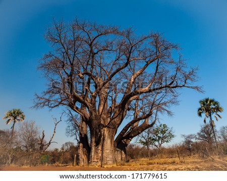 Big baobab tree near Victoria falls (Zimbabwe) - stock photo