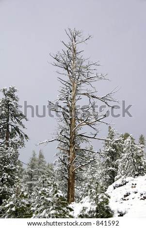 Big Bare Tree covered in fresh Snow - stock photo