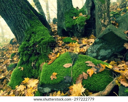 Big basalt mossy boulder in leaves forest covered with first colorful leaves from maple tree, ash tree and aspen tree. - stock photo