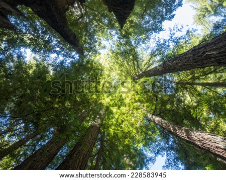 Big Basin Redwoods State Park is home to the largest continuous stand of ancient Coast Redwoods south of San Francisco. - stock photo