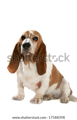 big basset hound with short legs and long ears