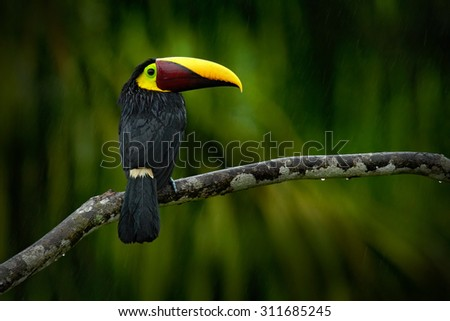 Big beak bird Chesnut-mandibled Toucan sitting on the branch in tropical rain with green jungle background - stock photo