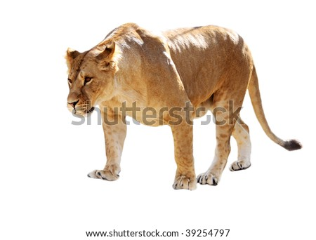 Big beautiful lioness stands