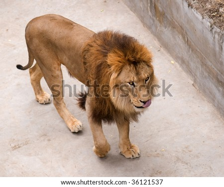 Big beautiful male lion in Nikolaev zoo