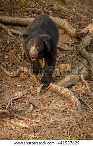 Big beautiful sloth bear male face to face/wild animal in the nature habitat/India - stock photo