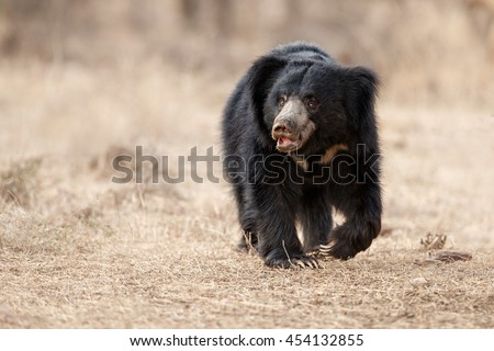 Big beautiful sloth bear male is searching termites/wild animal in the nature habitat/India - stock photo