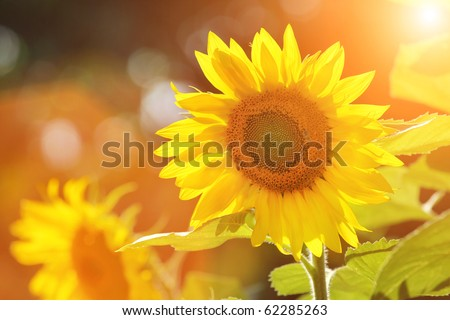 Big beautiful sunflowers outdoors. Shallow DOF. - stock photo