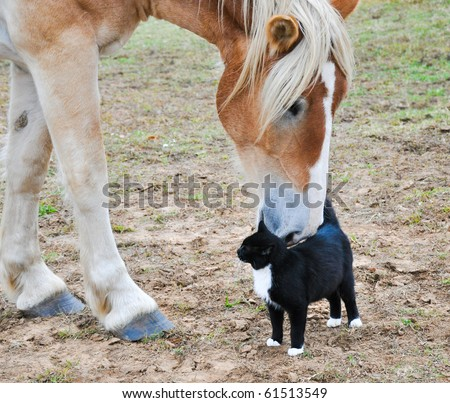 Big Belgian Draft horse curiously nibbling on a black-and-white kitty cat