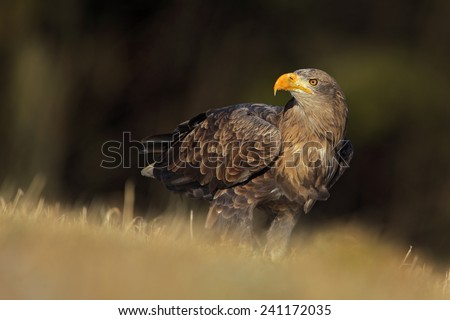 Big bird of prey White-tailed Eagle sitting on the meadow with nice sun light - stock photo