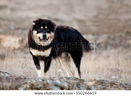 big black bulgarian sheep dog guard his herd in autumn meadows  - stock photo