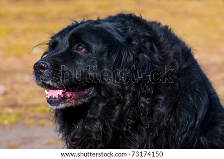 Big black dog - half newfoundland - stock photo