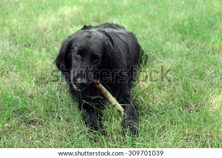 Big black dog playing with wooden stick over green grass background