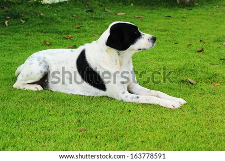 Big black dog with white spots sitting in park green grass.