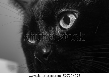 Big black domestic cat