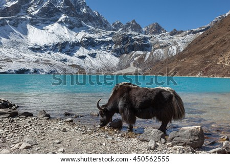 Big black Himalayan yak drinking water from the Gokyo lake in Nepal. View of amazingly beautiful transparent turquoise waters of the mountain lake under the clear blue sky on a bright sunny day. - stock photo