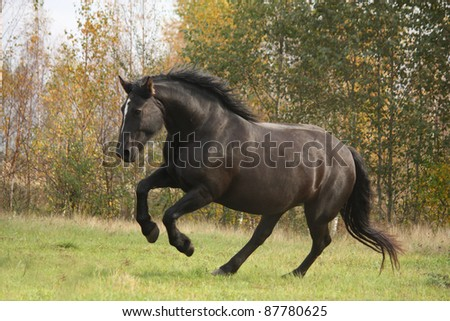 Big black horse jumping at the field in fall