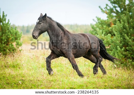 Big black horse running on the pasture