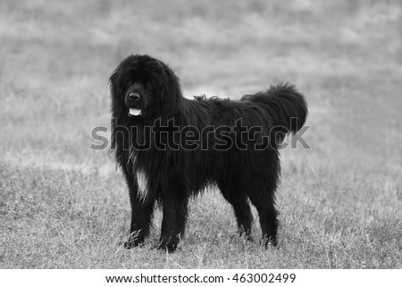 big black newfoundland dog posing in the field, black and white dog background