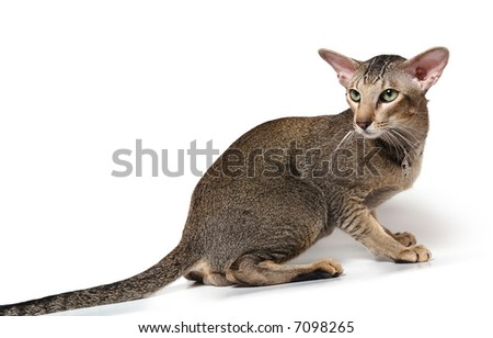 big black tabby cat of oriental breed - stock photo
