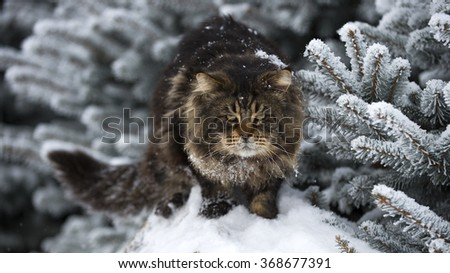 big black tabby maine coon snow forest
