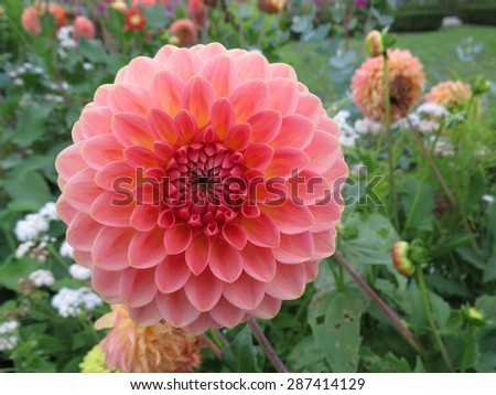 Big blooming pink aster - stock photo