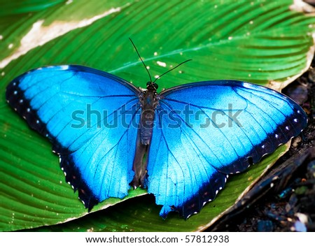 Big blue butterfly on a green leaf - stock photo