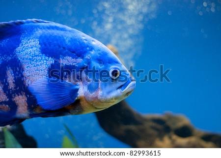 Big blue fish in aqurium. Underwater - stock photo