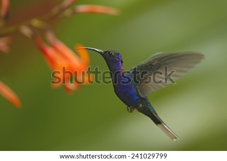 Big blue hummingbird Violet Sabrewing flying next to beautiful pink flower with clear green forest background  - stock photo