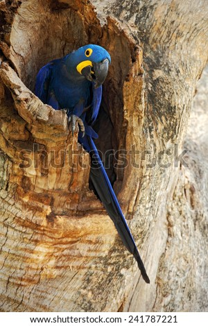 Big blue parrot Hyacinth Macaw, Anodorhynchus hyacinthinus, in tree nest cavity, Pantanal, Brazil, South America - stock photo