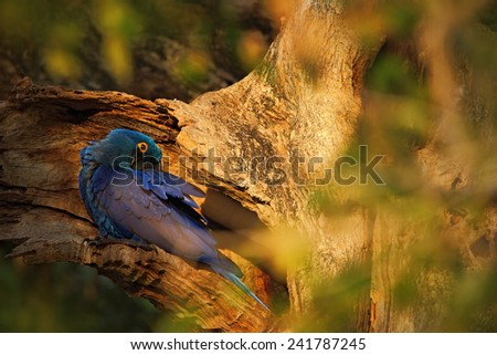 Big blue parrot Hyacinth Macaw, Anodorhynchus hyacinthinus, in tree nest hole, Pantanal, Brazil, South America - stock photo
