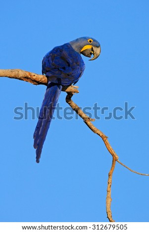 Big blue parrot Hyacinth Macaw, Anodorhynchus hyacinthinus, sitting on the branch with dark blue sky, Pantanal, Bolivia, South America - stock photo