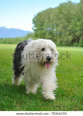 Big bobtail old english shipdog breed dog outdoors on a field - stock photo