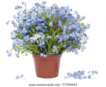 Big bouquet from spring blue Forget-me-nots (Myosotis) flowers   isolated on white - stock photo