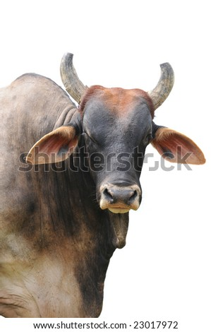 Big brahman bull isolated on a white background