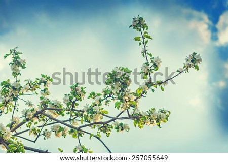 big branch of apple tree on background sky instagram stile  - stock photo