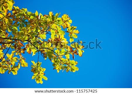 big branch of yellow oak shot in october - stock photo
