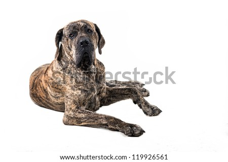 big Brazilian Fila dog lying in front of white background - stock photo