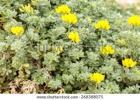Big bright beautiful yellow flowers on leaves background - stock photo