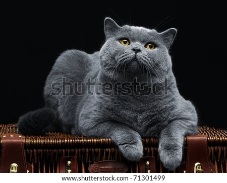 Big british cat lying on suitcase and looking at camera - stock photo