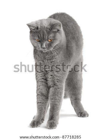 big British  cat on the white background