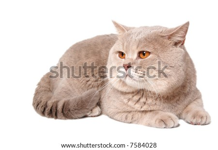 big british lilac cat with orange eyes - stock photo