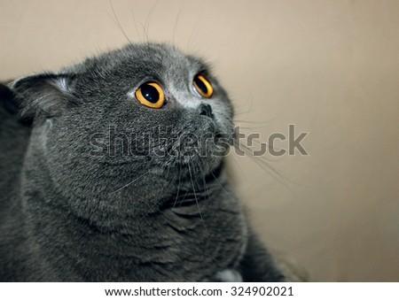 Big british short haired fat cat  - stock photo