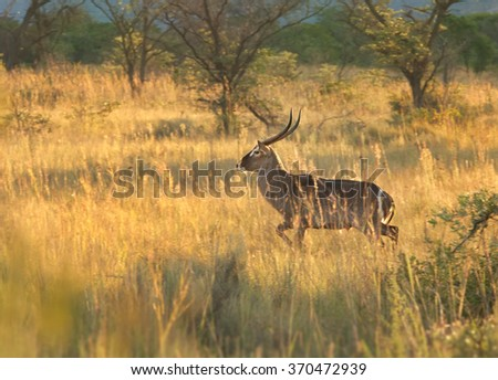 Big brown antelope Waterbuck Kobus ellipsiprymnus defassa,male in movement in colorful yellow dry grass lit by afternoon sun in savanna,staring directly at camera, bush in background, Zimbabwe.  - stock photo
