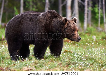Big brown bear in a finnish forest