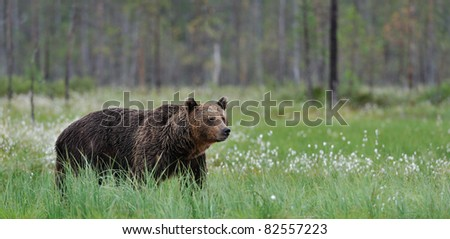 Big brown bear in blossoming grass in Finnish taiga