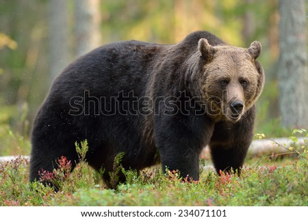 Big brown bear in forest at fall - stock photo