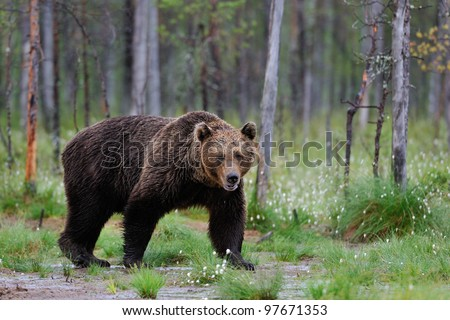 Big Brown Bear in the bog with blossoming grass